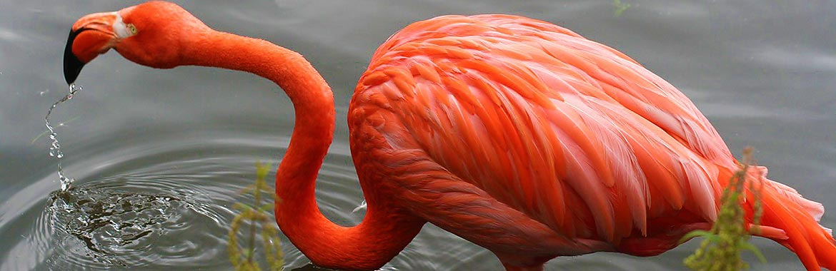 flamingo-drinking